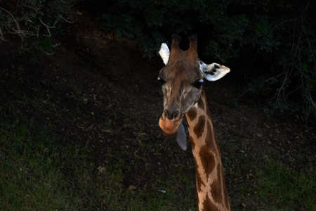 Beautiful portrait of a Baringo Giraffe with its tongue out in a zoo in Valencia Spain 版權商用圖片