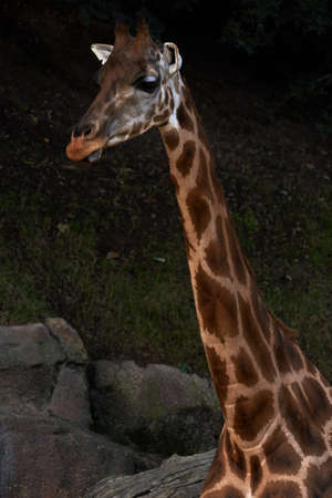 Beautiful portrait of a Baringo Giraffe from neck up in a zoo in valencia spain
