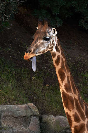 Beautiful portrait of a Baringo Giraffe from neck up with its tongue out in a zoo in Valencia Spain