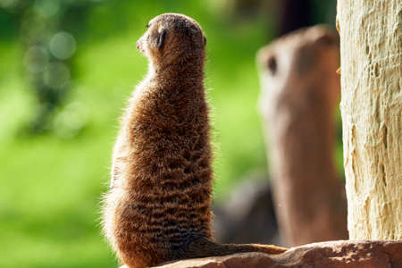 Beautiful portrait from the back of a meerkat looking forward on rock in a zoo in valencia spain