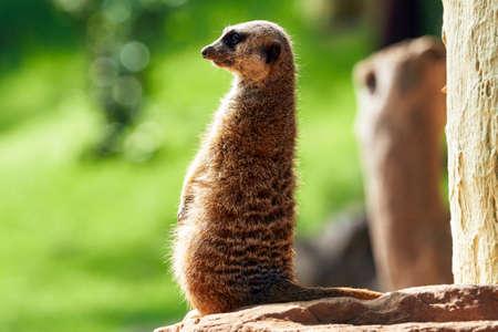 Beautiful back portrait of a meerkat looking sideways on rock in a zoo in valencia spain