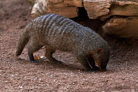 beautiful striped mongoose smelling the earth with rocks in the background in a zoo in valencia, spain