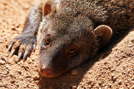 beautiful portrait of striped mongoose lying on the ground sunbathing looking at camera in a zoo in valencia, spain