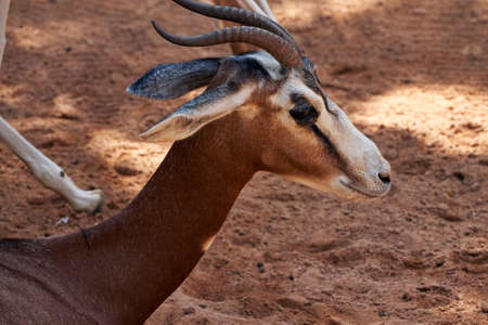 Beautiful side face and neck portrait of a Dama gazelle in a zoo in Valencia, Spain Stock Photo