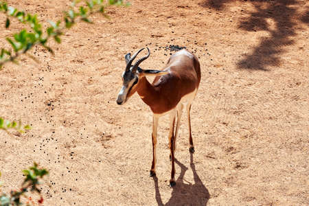 beautiful specimen of mhorr gazelle on the ground in a zoo in valencia, spain