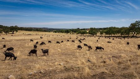 Herd of black goats in a field in Portugal at midday on a sunny afternoon.