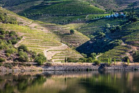 Typical vineyard landscape of the Douro valley in Portugal.