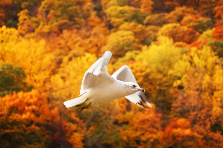 gull flying with autumn foliage in bear mountain Stock Photo - 17432971