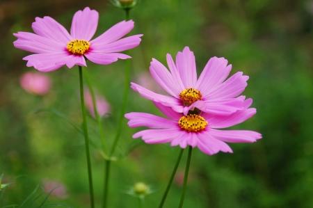 garden cosmos Imagens