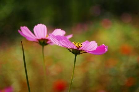 2 garden cosmos Imagens
