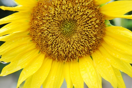 a sunflower with stamen and petals