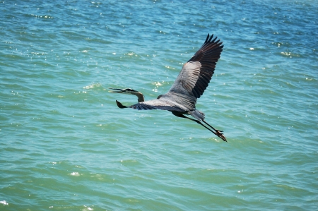 a flying great blue heron photo