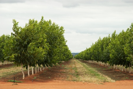 stock photography: a walnut plantation in the country