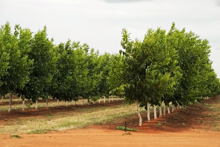walnut tree: rows of walnut trees on a plantation
