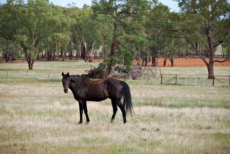 gelding: a gelding walking through a paddock Stock Photo