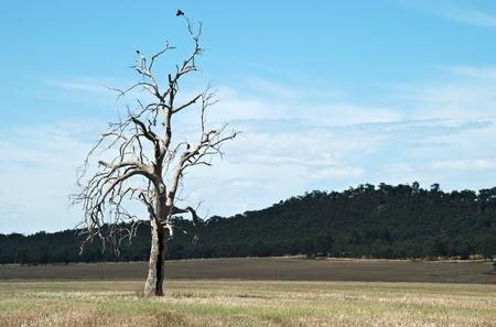 tree dead: corvi purched su un ramo di albero morto Archivio Fotografico