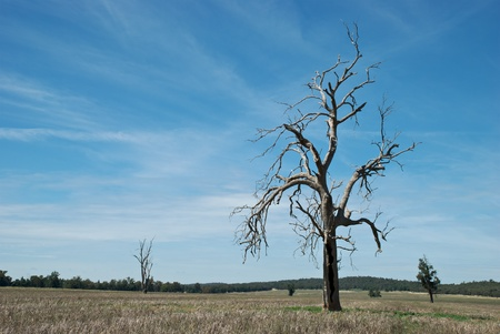 eucalyptus trees: a dead eucalyptus tree in a paddock of stubble