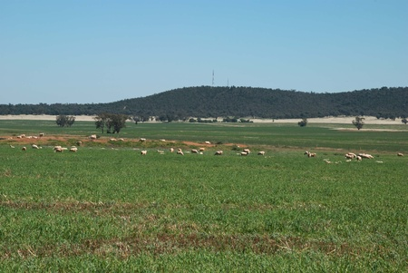 ewes: ewes grazing in a paddock of grass