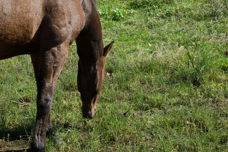 a horse grazing on pasture grass photo