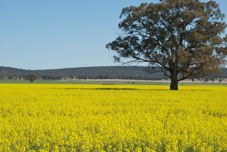 a lone gum tree in a paddock of canola Stock Photo - 10886745
