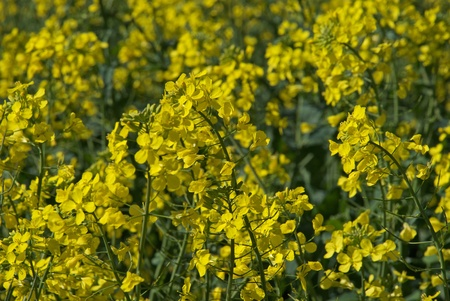 canola plant: a close-up view of a canola plant