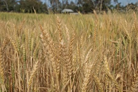 a paddock of wheat ripening in farm paddock photo