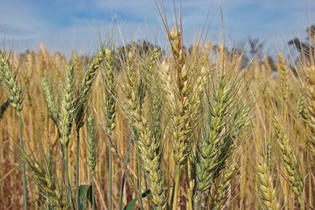 a variety of wheat in a farm paddock photo