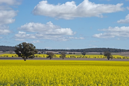 sheep grazing between two canola crops photo
