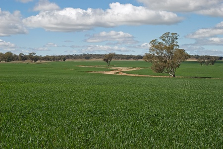 a cereal crop in early stages of growth photo