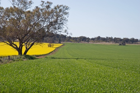 a fence between a canola and cereal crop Stock Photo - 11177710