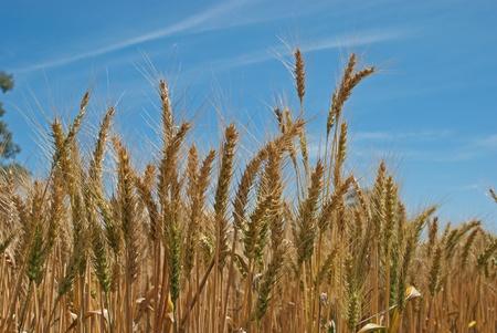 weizen ernte: eine Nahaufnahme eines reifenden Weizen