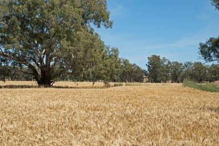 weizen ernte: ein Weizenernte sieht kurz vor der Ernte Lizenzfreie Bilder