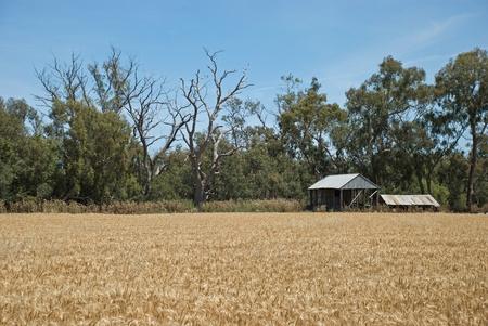 cosecha de trigo: un cultivo de trigo ripend listo para la cosecha