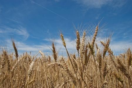 weizen ernte: eine Nahaufnahme eines reifen Weizen Lizenzfreie Bilder