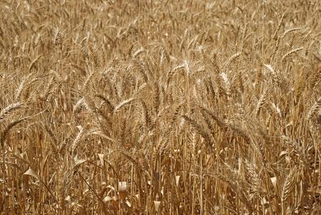 weizen ernte: eine enge Ansicht eines Weizenernte