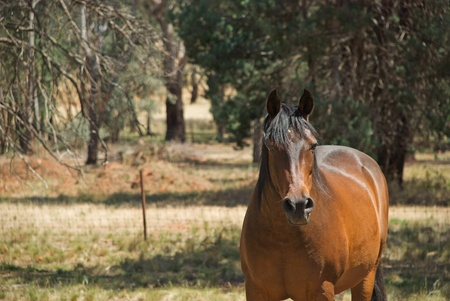 gelding: a gelding grazing in a farmers paddock Stock Photo