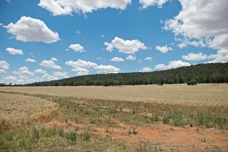 cosecha de trigo: un cultivo de trigo con la colina, en el fondo