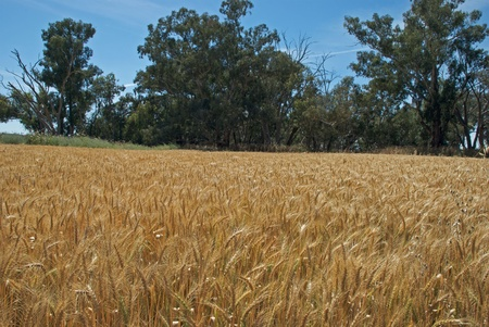 a healthy ripeing wheat crop and trees behind Stock Photo - 13527047