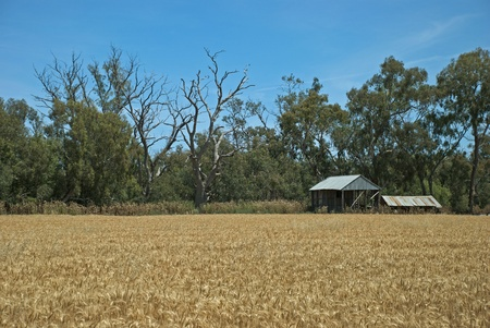 a healthy wheat crop and with building and trees photo