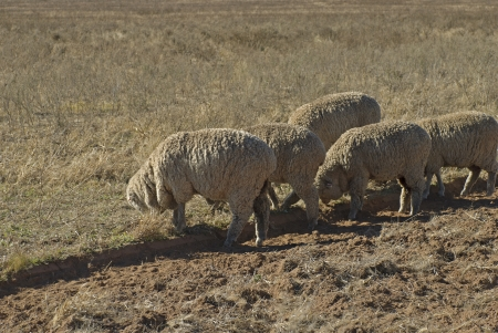 five sheep grazing in a farm paddock Stock Photo - 13600762