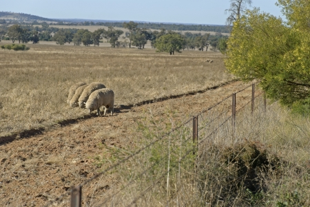 sheep grazing in paddock and a fence Stock Photo - 13600721