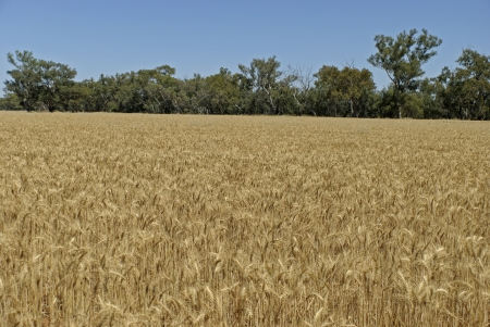 a healthy wheat crop with blue sky Stock Photo