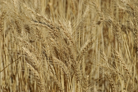 a close-up of a ripening wheat crop photo