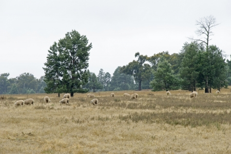 ewes: a mob of ewes grazing in field with fog around Stock Photo