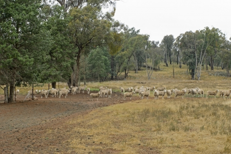 a mob of ewes at the farm gate photo