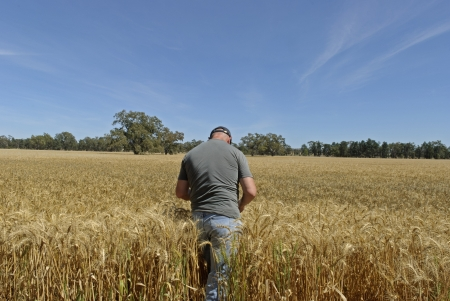 wage earner: farmer checking if crops ready for harvesting