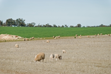 a mob of ewes with lambs grazing photo