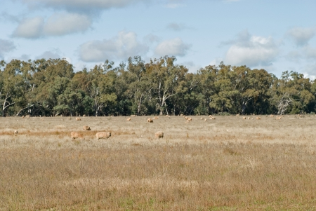 ewes and lambs grazing in rural paddock