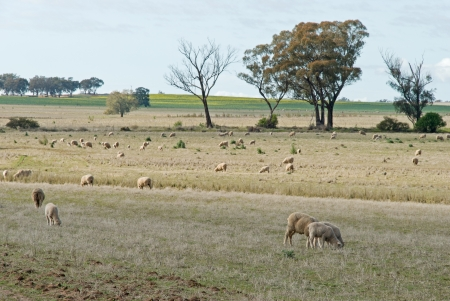 ewes and lambs grazing in a rural pasture photo