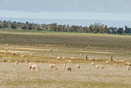 lambs and ewes grazing in a farm pasture photo